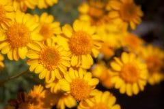 Cravos-de-defunto amarelos do deserto dos Wildflowers Imagem de Stock Royalty Free