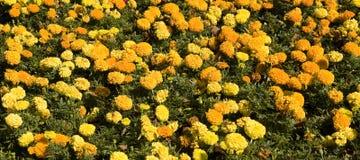 Cravos-de-defunto amarelos e alaranjados Fotografia de Stock