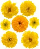 Cravos-de-defunto amarelos isolados Fotografia de Stock Royalty Free