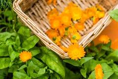 Cravos-de-defunto colhidos na cesta no canteiro de flores Fotos de Stock Royalty Free