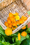 Cravos-de-defunto colhidos na cesta no canteiro de flores Imagem de Stock