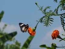Cravos-de-defunto e borboletas imagens de stock royalty free