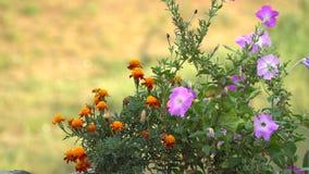 Cravos-de-defunto e petúnias alaranjados no canteiro de flores Imagem de Stock Royalty Free
