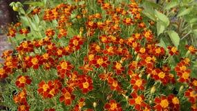 cravos-de-defunto Fino-com folhas - um tapete carmesim de um jardim do outono imagem de stock royalty free