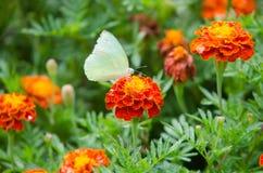 Cravos-de-defunto franceses e borboleta foto de stock