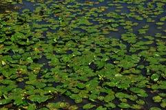 Cravos-de-defunto no fundo da água do lago ilustração do vetor