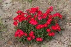 Cravos turcos vermelhos no solo Imagens de Stock Royalty Free