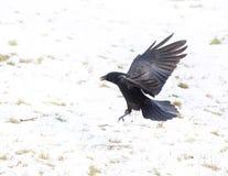 Craw летания Стоковое Фото