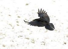 Craw летания Стоковые Фото