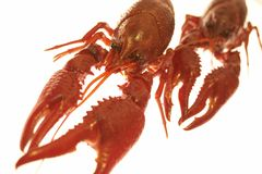 Craw-fish Royalty Free Stock Photo