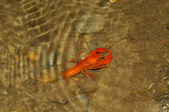 crawdad Royaltyfria Foton