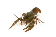 Crawfish живое одно изолированное на белизне Стоковая Фотография RF