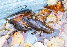 Crawfish живые в воде и листьях Стоковые Изображения RF