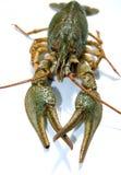 Crawfish. Food theme. Raw crawfish (crayfish Royalty Free Stock Images