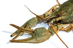 Crawfish. Food theme. Raw crawfish (crayfish Royalty Free Stock Photos