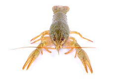 Crawfish Royalty Free Stock Photos