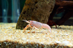 Crawfish Royalty Free Stock Image