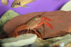 crawfish royaltyfria bilder
