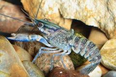 crawfish royaltyfri fotografi