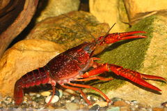 Crawfish Stock Photography