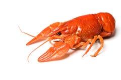 crawfish Fotografering för Bildbyråer