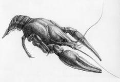crawfish Стоковая Фотография