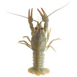 Crawfish alive Royalty Free Stock Photos