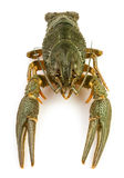 Crawfish alive one Royalty Free Stock Photography