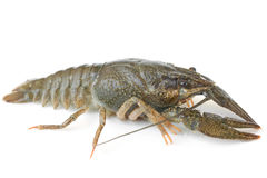Crawfish alive Royalty Free Stock Image