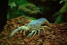 Crawfish in the aquarium. Living crawfish in the aquarium and dark rocks background Stock Photo