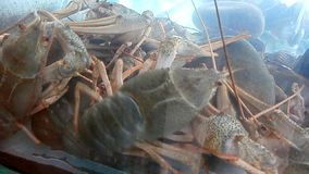 Crawfish in aquarium. Crawfish floating in aquarium water stock footage