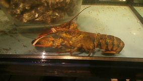 Crawfish in aquarium. Crawfish lying in aquarium water stock footage