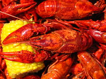 Crawfish Boil. A boiled Louisiana crawfish (crayfish) resting with its claws on an ear of corn Stock Images