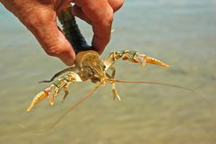Crawfish Claws Wide. Hand held crayfish held with claws wide open Royalty Free Stock Photo