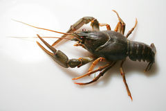 Crawfish or crayfish Stock Photos