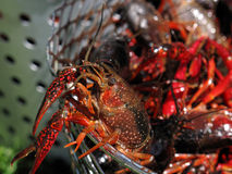 Crawfish escaping. Crawfish trying to escape from being boiled Royalty Free Stock Photo