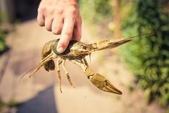 The crawfish in hand Stock Photography