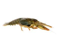 Crawfish . Royalty Free Stock Photography
