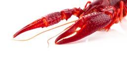 Crawfish Royalty Free Stock Photos