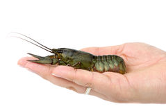 Crawfish lying in the palm Stock Photos