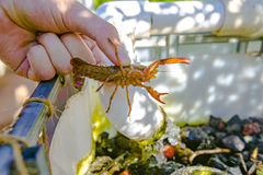 Crawfish showing off some pinchers Stock Image