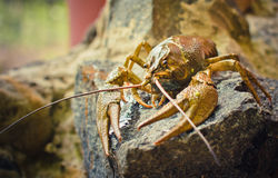 The crawfish on a stone Royalty Free Stock Photography