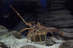 Crawfish under water Royalty Free Stock Images