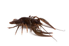 Crawfish on white background Stock Photography