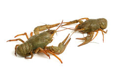 Crawfishes Imagens de Stock Royalty Free
