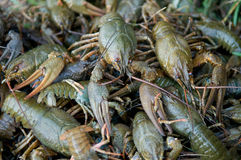 crawfishes Arkivbilder