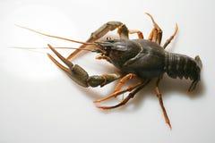 crawfishkräfta Arkivfoton