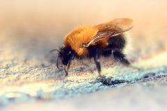 crawing蓬松的土蜂  图库摄影