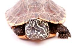 Crawl della tartaruga su priorità bassa bianca Immagini Stock Libere da Diritti
