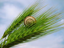 Crawl up to the sky. Snail is crawling up at the wheat Royalty Free Stock Photos